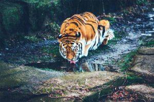 Thailand Tiger 300x200 - Thailand Tiger