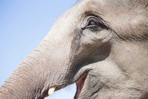 Thailand-Elephant